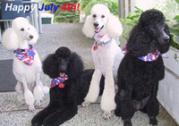 July 4th Poodles (Angelo, Bogie, Emily, & Olive)